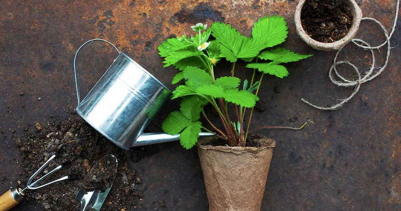 Growing Strawberry in Pots